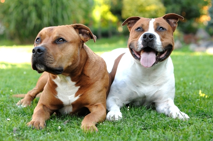 perros Staffordshire terriers